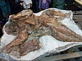 Fósiles del titanosauria del Chubut en el Museo Egidio Feruglio de Trelew 22.JPG