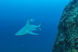 FGBNMS -sandbar shark (27098696962).jpg