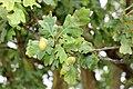Fagales - Quercus robur - 5.jpg