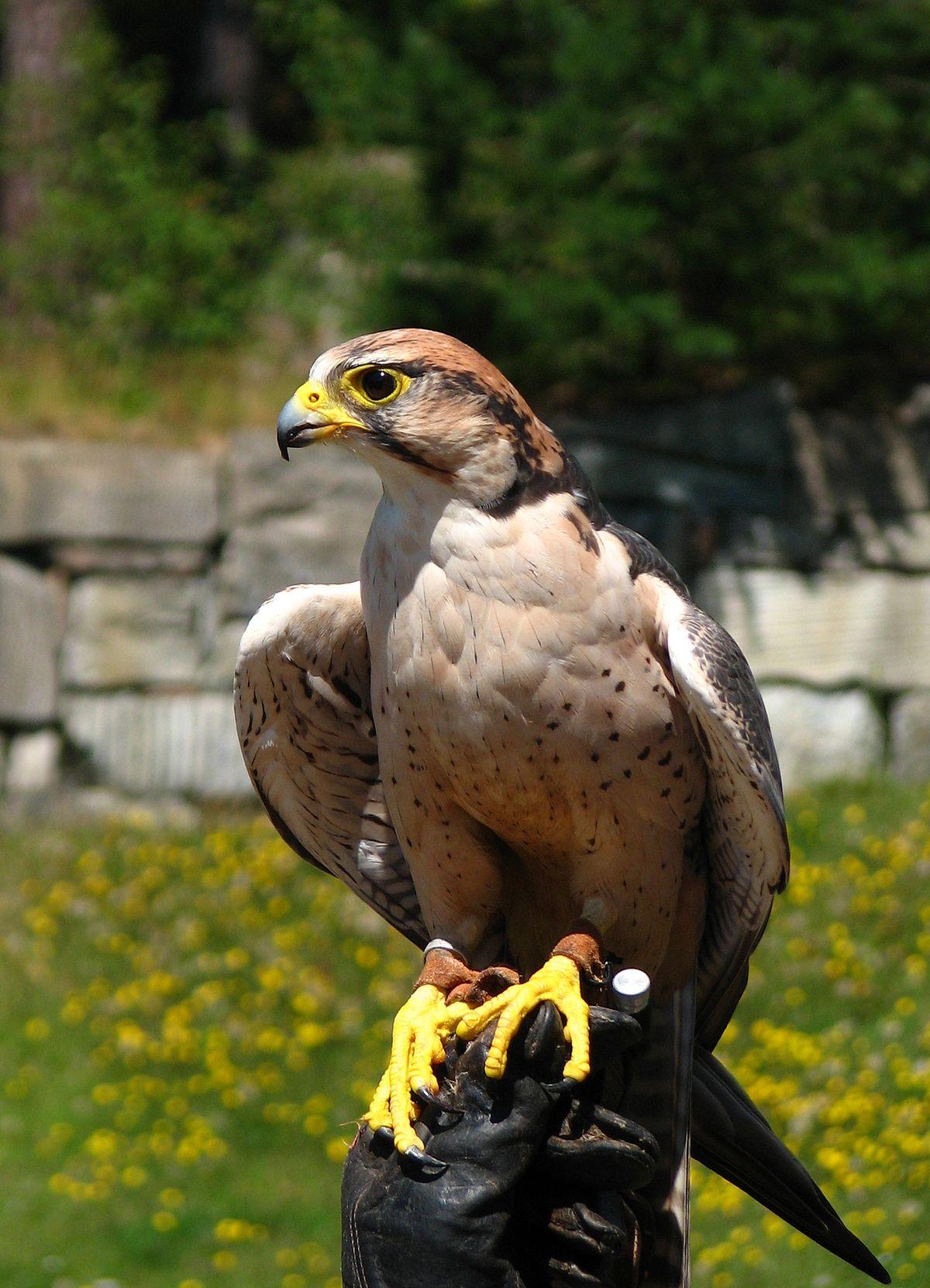 Wikipedia Falco