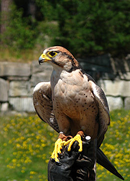 Falco biarmicus domesticated