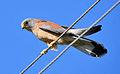 Falco naumanni-ku.jpg
