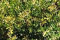 Federally endangered San Clemente Island lotus (6379788251).jpg