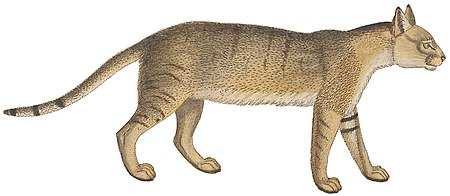 Felis chaus - 1700-1880 - Print - Iconographia Zoologica - Special Collections University of Amsterdam -(White Background).jpg