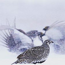 Female Greater Sage-Grouse.jpg