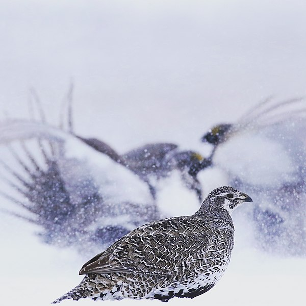 File:Female Greater Sage-Grouse.jpg