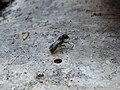 Female Heriades bee 01.jpg