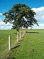 Fenceline with tree - geograph.org.uk - 231366.jpg