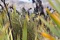 Fernbird (Mātātā) among harakeke (flax) and mingimingi.jpg