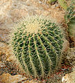 Ferocactus carasacanthus Jardin des Plantes.jpg