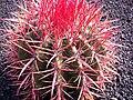 Ferocactus haematacanthus 2.jpg