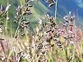 Festuca versicolor a2.jpg