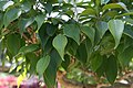 Ficus benjamina Exotica 2zz.jpg
