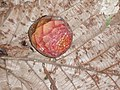 Ficus dammaropsis Diels (AM AK289883-3).jpg