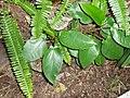 Ficus macrophylla Desf. ex Pers. (AM AK297337-2).jpg