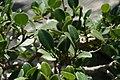 Ficus nitida 5zz.jpg