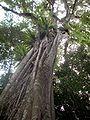 Ficus obliqua on Dysoxylum fraserianum.JPG