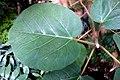 Ficus populifolia (Jardin des Plantes Paris).JPG