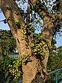 Ficus racemosa 17.jpg