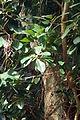 Ficus rubiginosa kz1.JPG