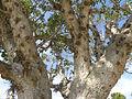 Ficus sycomorus Ashkalon 6.jpg