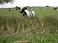 Field with Cows - geograph.org.uk - 252337.jpg