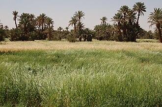M'Hamid El Ghizlane - Oasis of M'Hamid