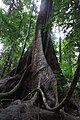 Fig tree in the Daintree Forest.jpg