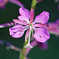Fireweed Epilobium angustifolium one flower close.jpg
