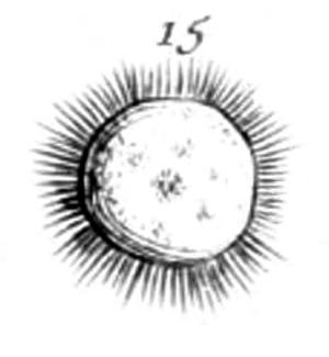 Heliozoa - Heliozoan depicted by Louis Joblot, 1718