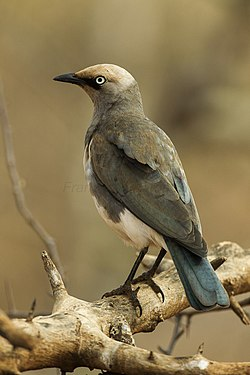 Fisher's Starling - Samburu - Kenya S4E4497 (22382989627).jpg