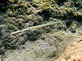Fistularia commersonii Karpathos 2.JPG