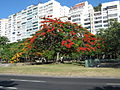 Flamboyant do Parque do Flamengo 01.jpg