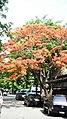 Flame Tree - panoramio.jpg