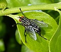 Flesh Fly. Sarcophaga sp. (33211824104).jpg
