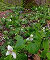 Flickr - Nicholas T - Shenks Ferry Wildflower Preserve (1).jpg