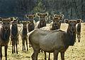 Flickr - Oregon Department of Fish & Wildlife - 2313 elk cows swart odfw.jpg