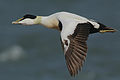 Flickr - Rainbirder - Eider drake (Somateria mollissima) in flight.jpg