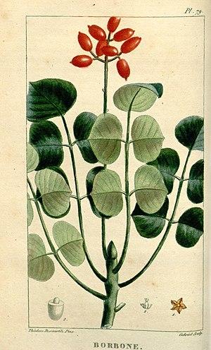Metopium brownei - Image: Flore médicale des Antilles, ou, Traité des plantes usuelles (Pl. 79) (8201961557)