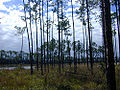 Florida pinelands usgov image.jpg