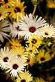 "Flower, Livingstone Daisy ""Lumine"" - Flickr - nekonomania.jpg"