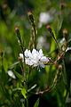 Flower, White Gaura - Flickr - nekonomania.jpg