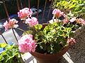Flowers in Rome6.JPG