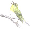 Fluiter Phylloscopus sibilatrix Jos Zwarts 2.tif