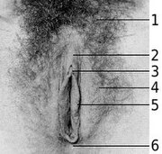 Photograph of the vulva. 1. Pubic hair (shaved), 2.Clitoral hood, 3. Clitoris, 4. Labia majora, 5. Labia minora (enclosing the Vaginal Opening), 6. Perineum.