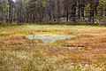 Formation of bogs (oligotrophic) In the climatic zone (taiga, forest-tundra) of the Arkhangelsk region. 7.jpg