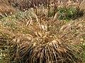 Fountain Grass (30316641363).jpg