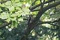 Fountains Abbey 2016 002 - Woodpecker.jpg
