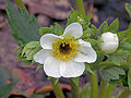 Fragaria × ananassa 'Lambada' frost damage close up, Aardbei Lambada vorstschade.jpg