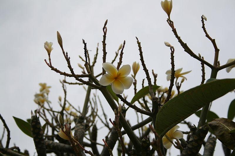 File:Franchipán-Temple Tree (Plumeria rubra), Oahu, Hawaii, USA.jpg